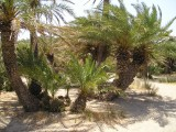 Palm Trees at Vai beach II