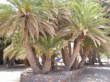 Palm Trees at Vai beach