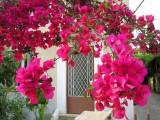 Spring Flowers in Chania