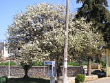 Floweting tree in Kounupidiana
